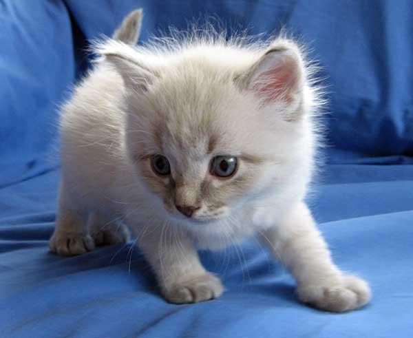 Bailey, female colourpoint Siberian kitten