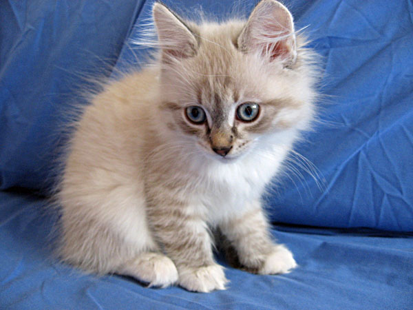 Sealpoint Siberian kitten Byron at almost 10 weeks old.