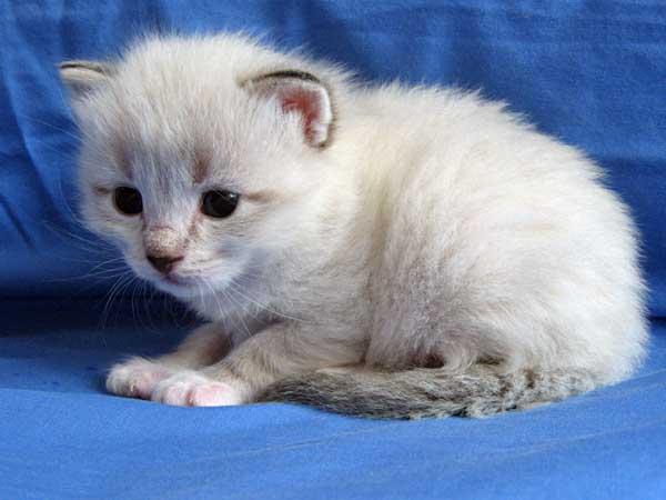 Siberian kitten Byron at 21 days old