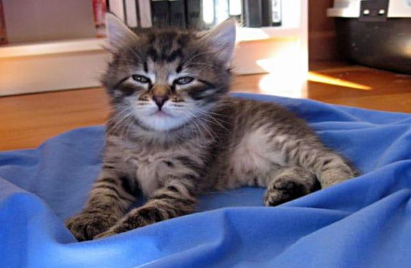 Female Siberian kitten Cleo