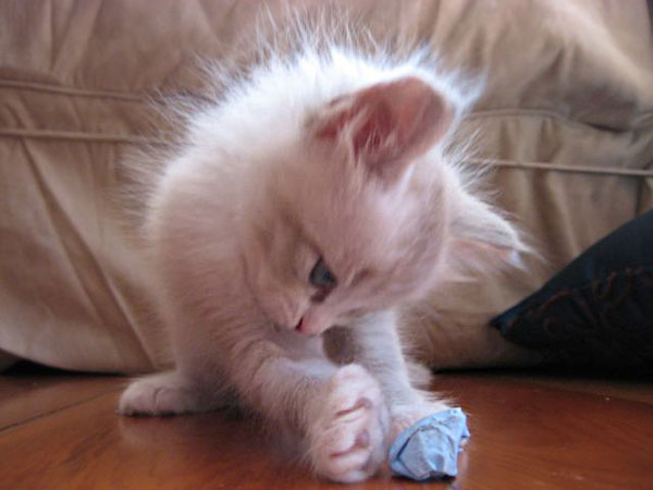 Female Siberian kitten Catia lines up to kick the crumpled paper soccer ball