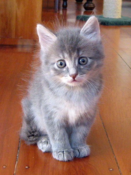 Female Siberian kitten Caci, 29 April 2013