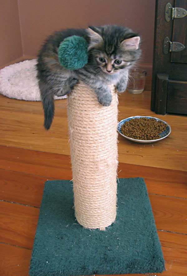 Courageous Siberian kitten 'Coco' makes it to the top of the junior scratching post