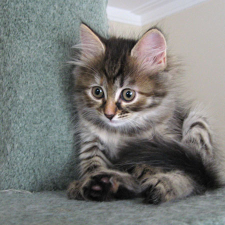 Siberian kitten Coco way up high on a 2-metre-tall scratching post.