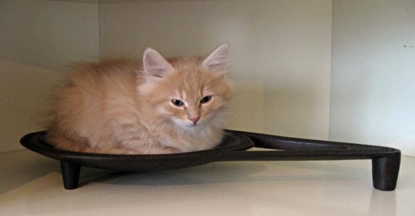 9-week-old Siberian kitten Cosmo