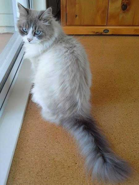 Bluepoint Siberian female cat Sapphire
