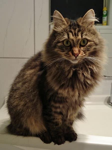 Siberian cat Sasha at 13 months old, 12 May 2014