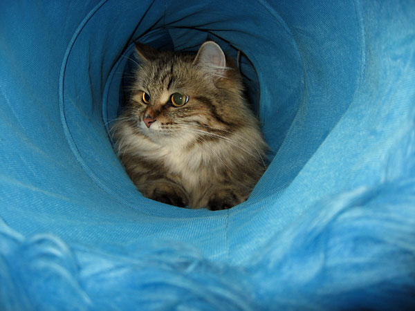 Siberian cat Cecilia ('Cici') in a cat tunnel.