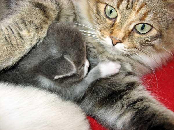 Siberian kitten Dougal with his mum Calina at 16 days old, 5 November 2013