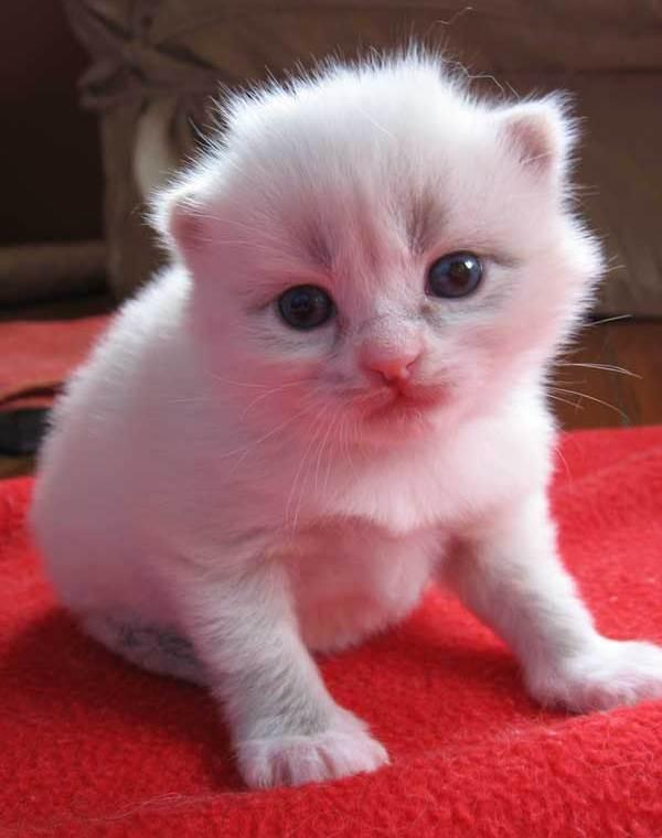Female Siberian kitten Daphne at 16 days old, 5 November 2013