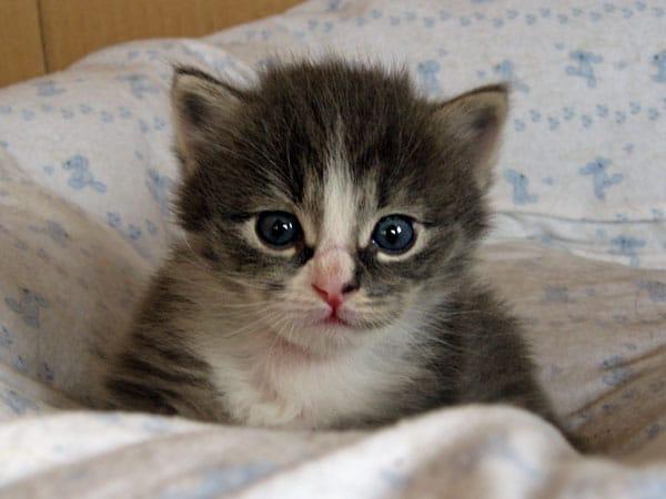 Blue tabby Siberian kitten Dougal