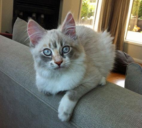 Three-month-old Siberian kitten Sasha