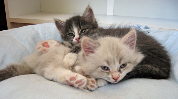 Siberian kittens Dougal (left) and Daphne at rest after breakfast