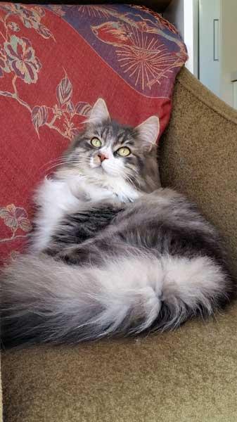 Siberian cat Farley