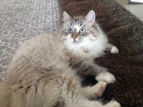 Siberian kitten Foster at 10 months old