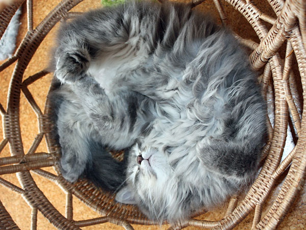 Siberian kitten Fitzy tries another position in the Buka basket