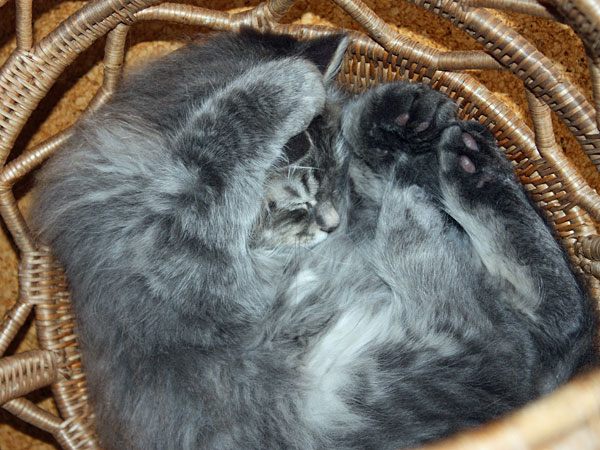 10-week-old Siberian kitten Fitzy tries another position in the Buka basket,