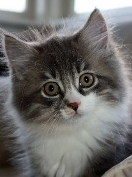11-week-old Siberian kitten Farley