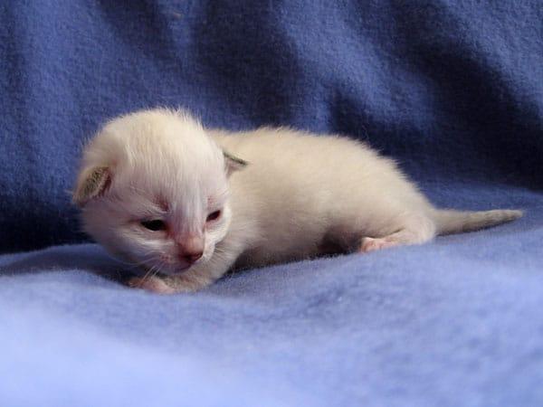 Male colourpoint Siberian kitten Foster at 15 days old