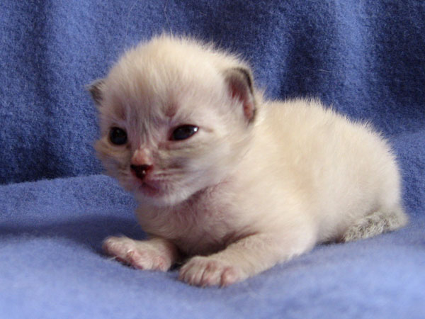 Female sealpoint Siberian kitten Freya at 15 days old