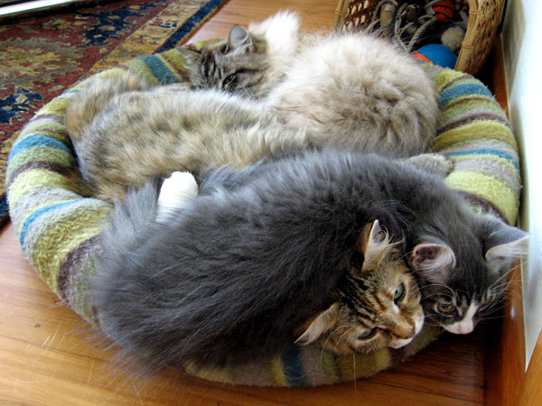 Originally Mari had claimed this little bed. Then Calina climbed in with her. Then Dougal piled on top!