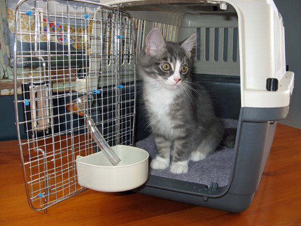 Siberian kitten Dougal checks out his carrying case before flying to Christchurch