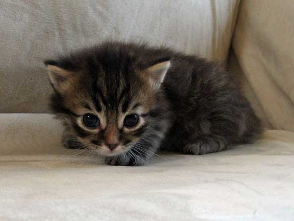 Male Siberian kitten Felix at 24 days old, 25 January 2014