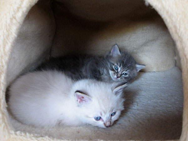 5-week-old Siberian kittens Freya (front) and Felix in the 'igloo'