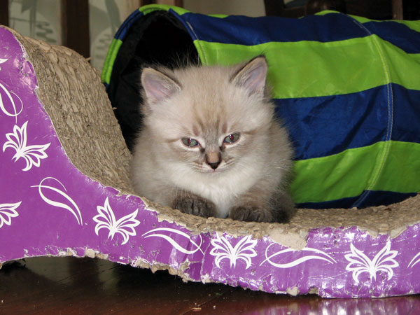 Female Siberian kitten Freya at 6 weeks old