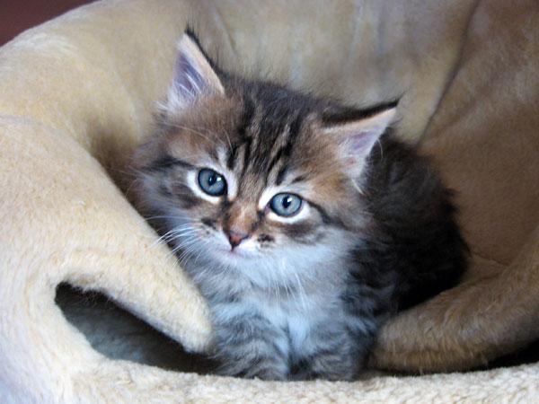 6-week-old black tabby Siberian kitten Felix