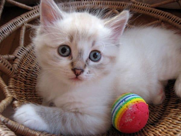 6-week-old colourpoint Siberian kitten Foster