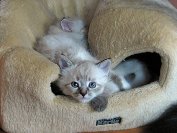 Siberian kittens Foster and Freya at rest
