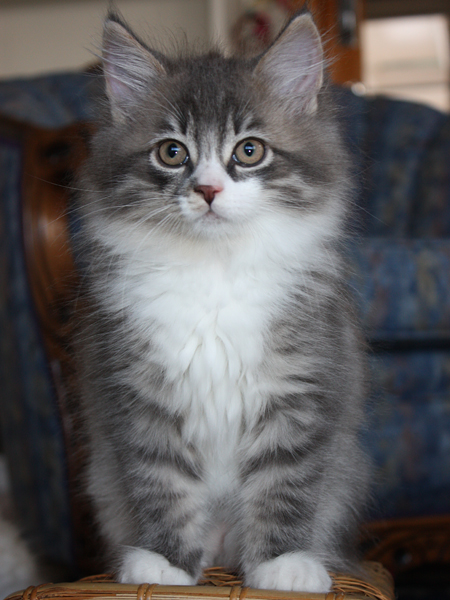 Male Siberian kitten Farley