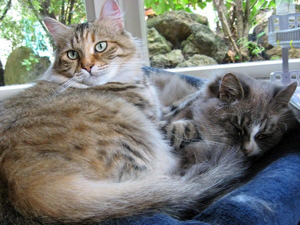 Siberian cats Calina (left) and Harley