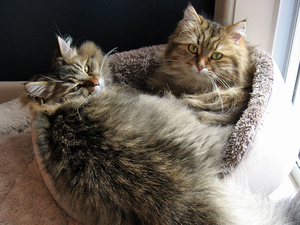 Siberian kitten Felix with his mother Cecilia