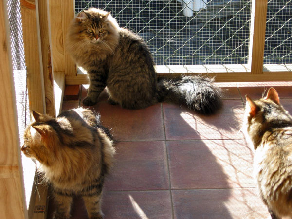 Siberian cats in outdoor run
