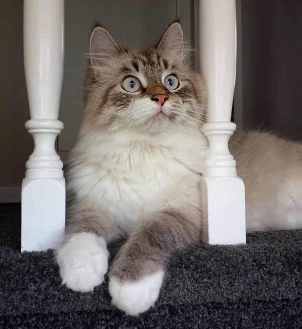 Siberian cat 'Gus' at one year old
