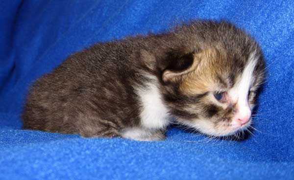 Female Siberian kitten Gabby at 2 weeks old