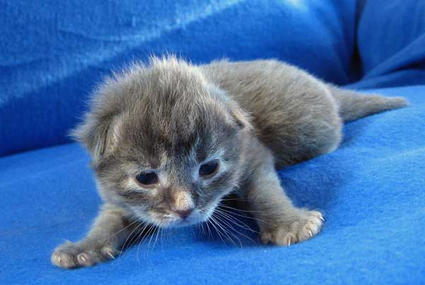 Female Siberian kitten Gracie at 13 days old