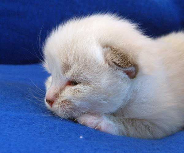 Male Siberian kitten Gustav (Gus) at 13 days old
