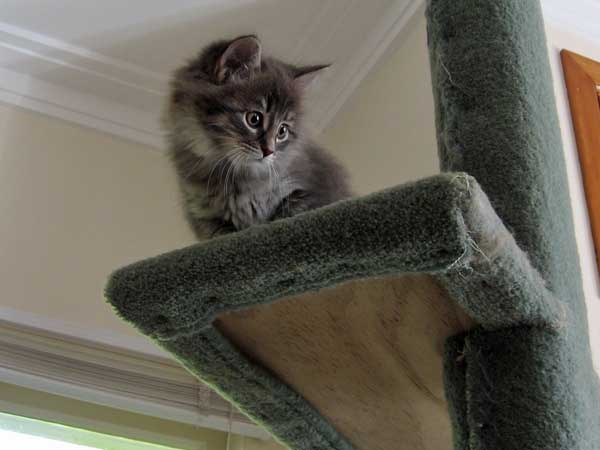 Siberian kitten Gracie on the 2m-tall scratching post