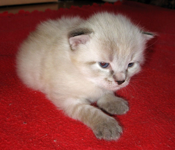 Siberian kitten Georgey at 3 weeks old