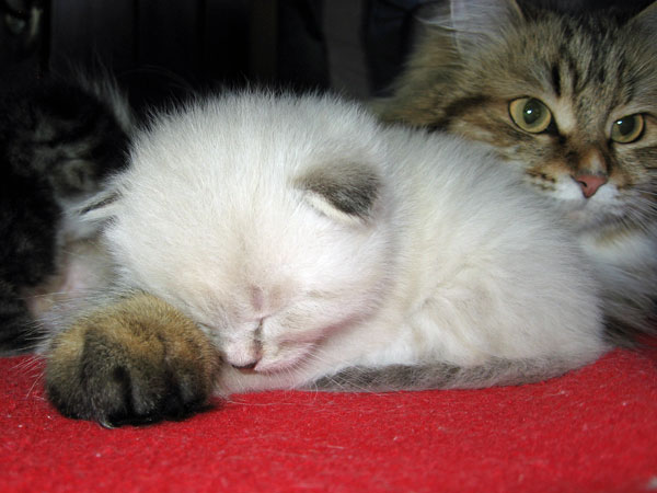 Siberian kitten Georgey snoozing at 3 weeks old