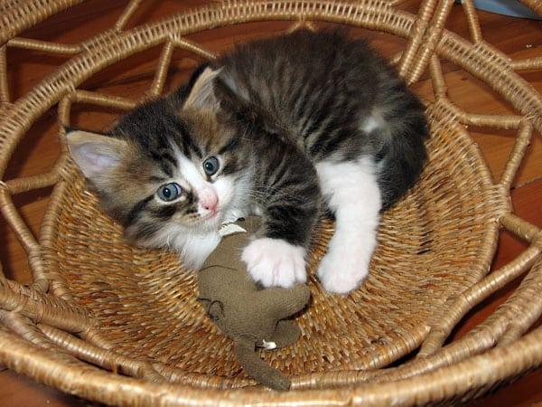 5-week-old Siberian kitten Gabby with a stuffed toy