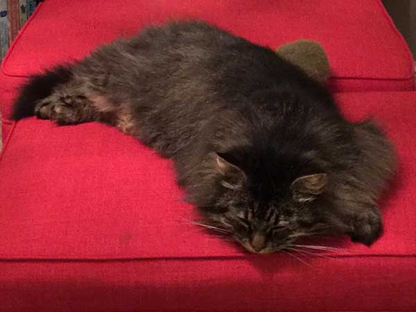 3-year-old Siberian cat Alexander, August 2015
