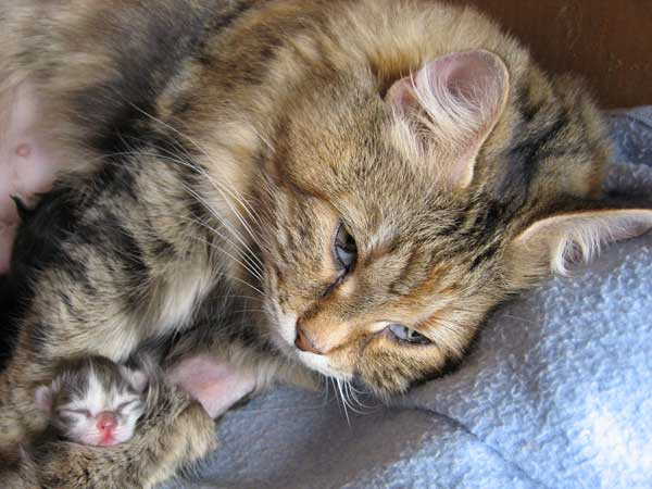 Female blue tabby Siberian kitten at 2 days old with her mum