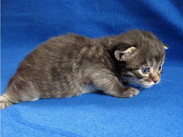 Siberian kitten Hana at 17 days old