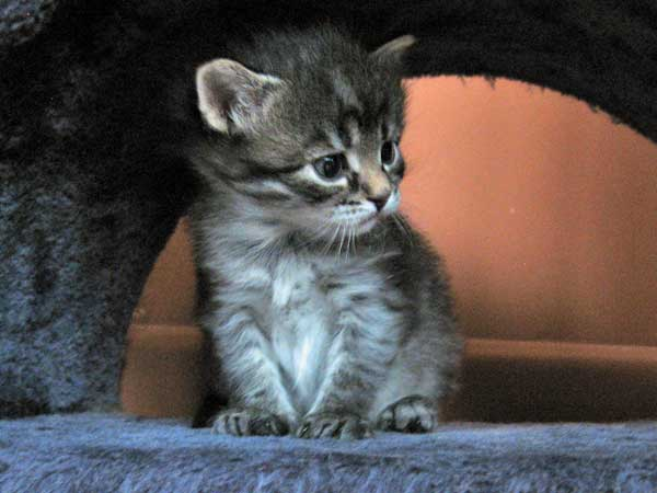 Siberian kitten Hana at 25 days old
