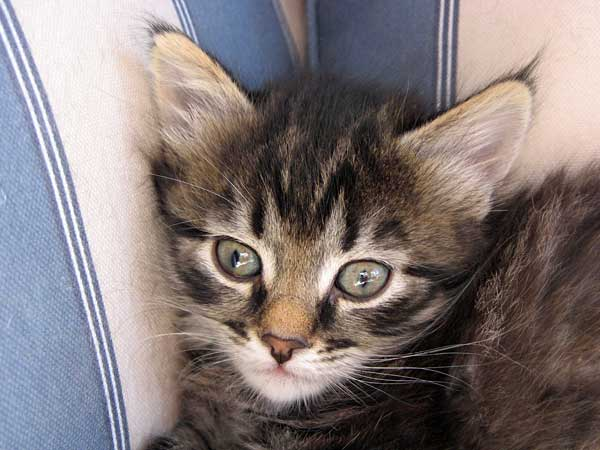 Siberian kitten Hoku at 38 days old, 20 Sept 2015