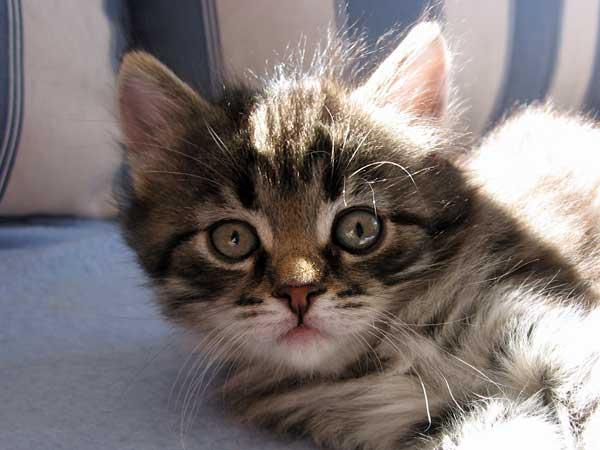 Siberian kitten Hana at 38 days old, 20 Sept 2015